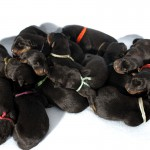 13 baby beaucerons